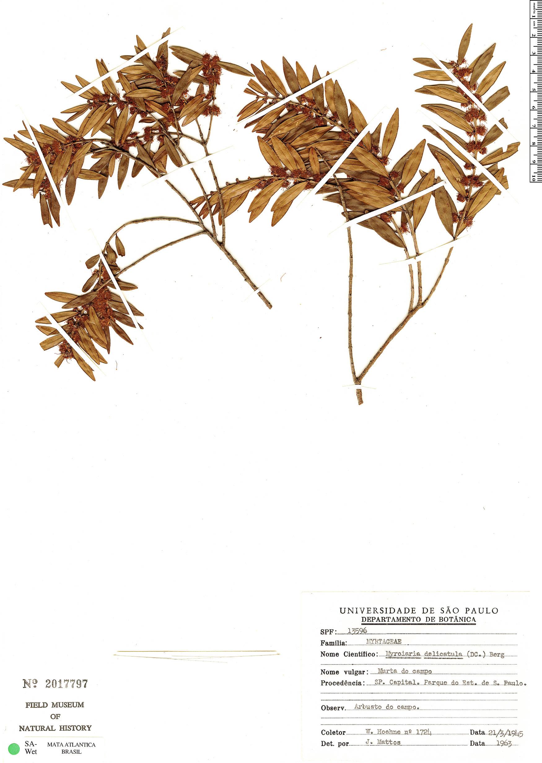 Specimen: Myrciaria delicatula