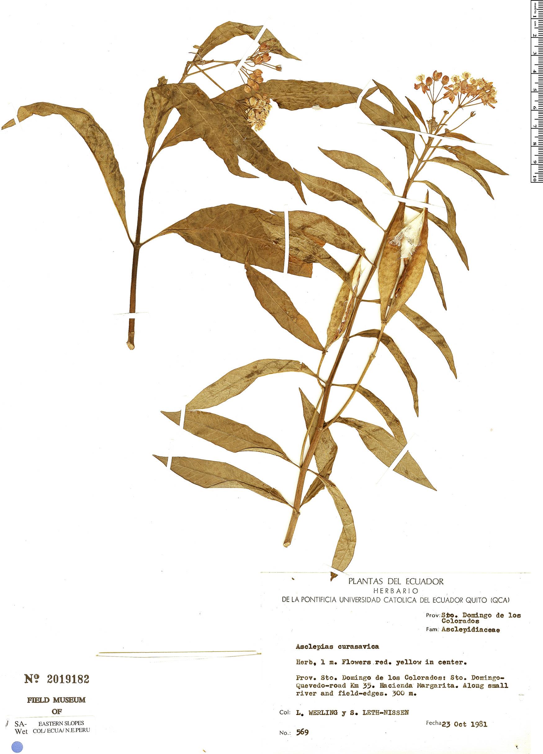 Specimen: Asclepias curassavica