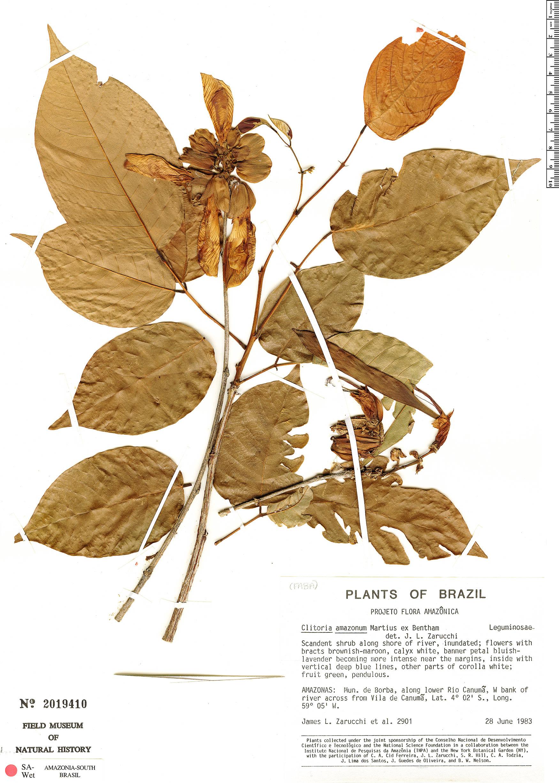 Specimen: Clitoria amazonum