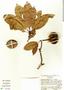 Manilkara zapota (L.) P. Royen, Costa Rica, N. Zamora V. 1206, F