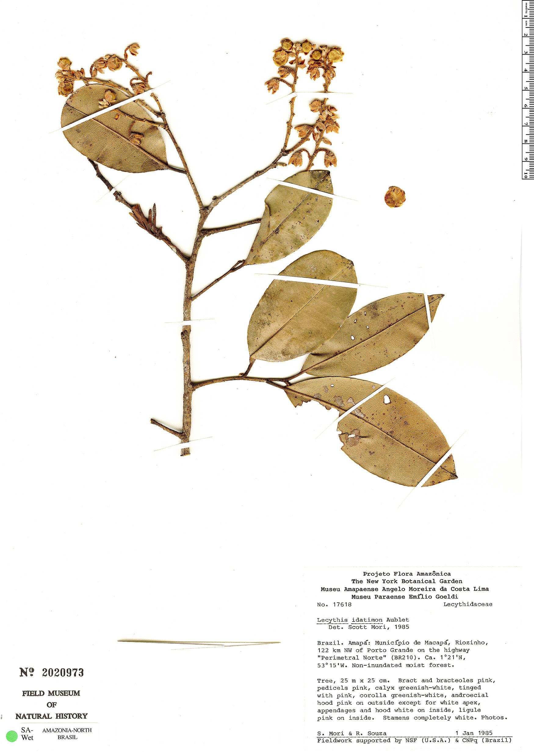 Specimen: Lecythis idatimon