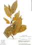 Virola elongata, Ecuador, B. Øllgaard 39238, F