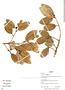 Ficus trigona L. f., Bolivia, R. B. Foster 12293, F