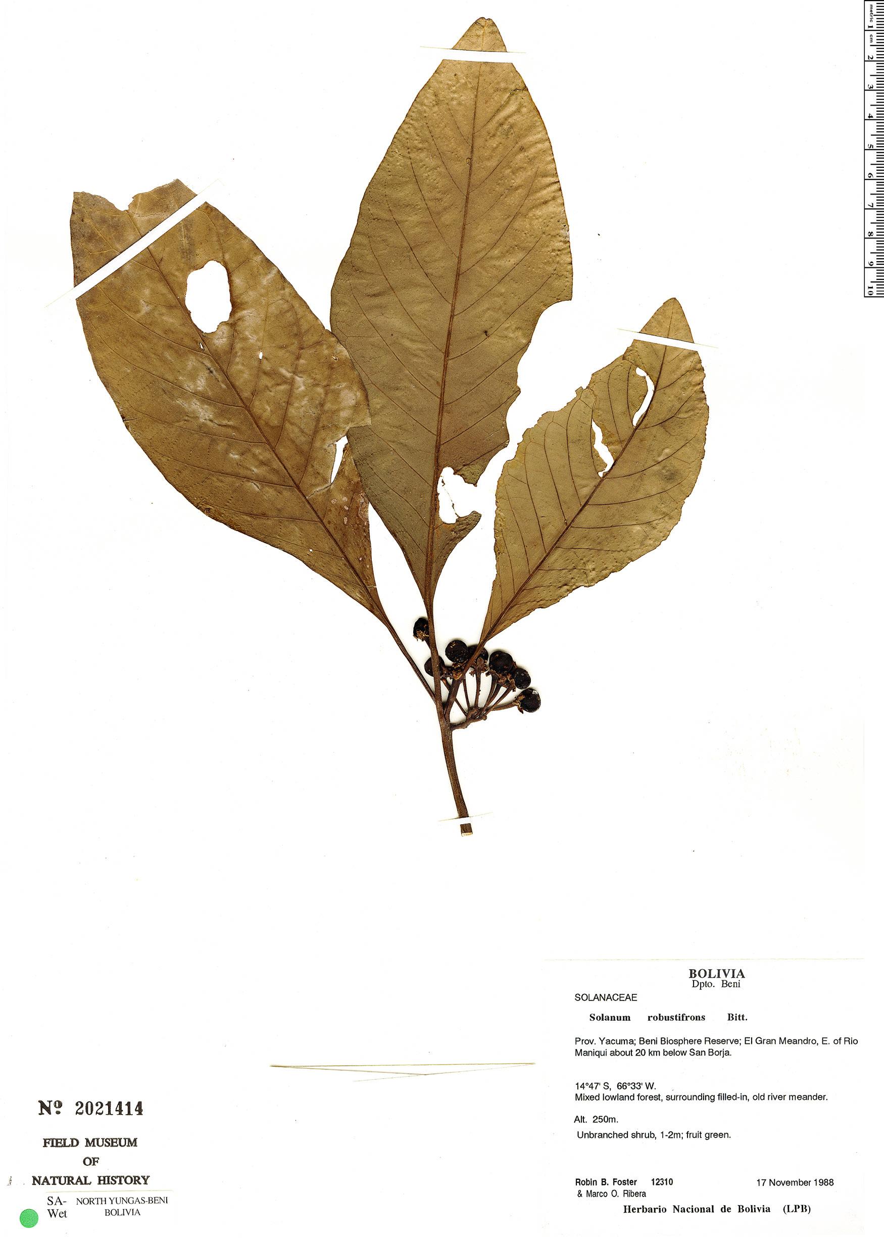 Espécimen: Solanum robustifrons