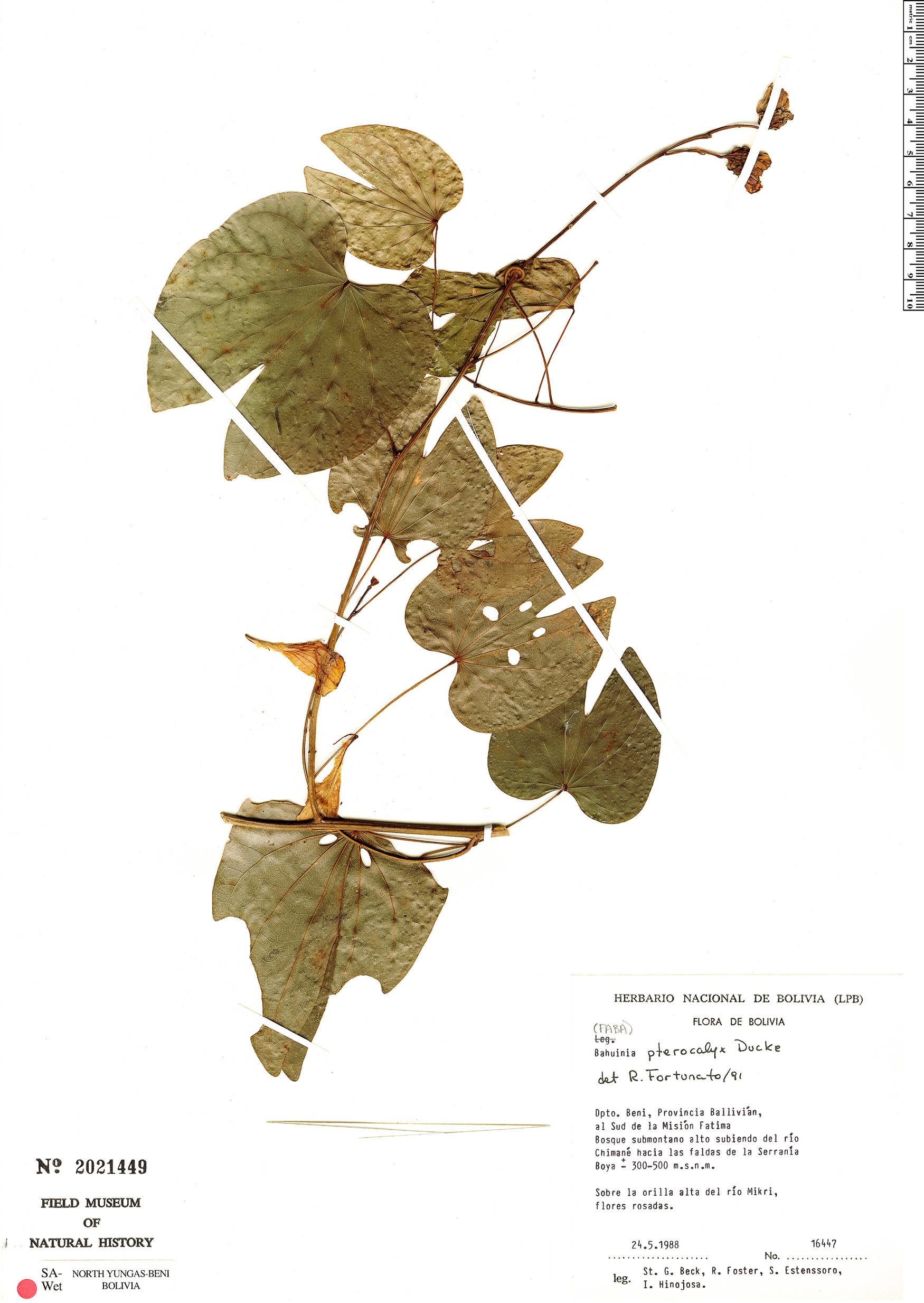 Specimen: Schnella pterocalyx