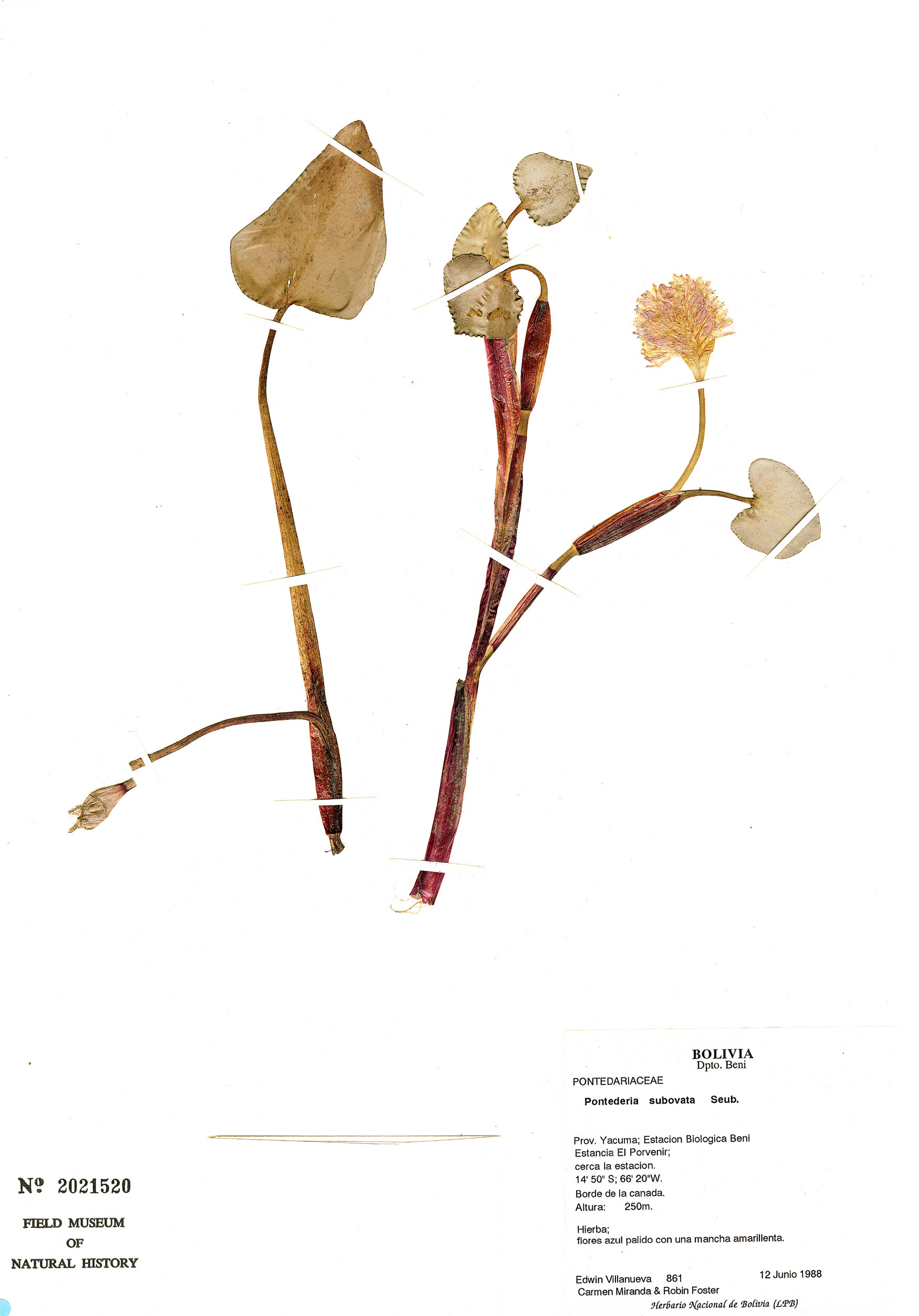 Specimen: Pontederia subovata