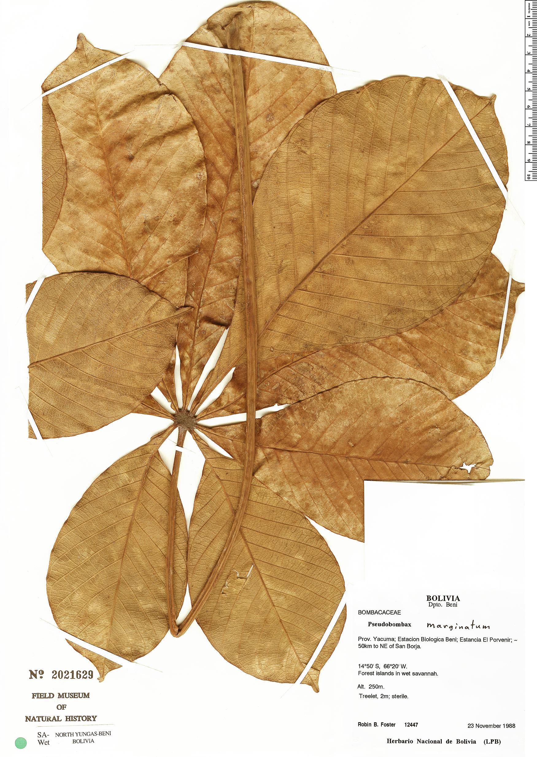 Specimen: Pseudobombax marginatum