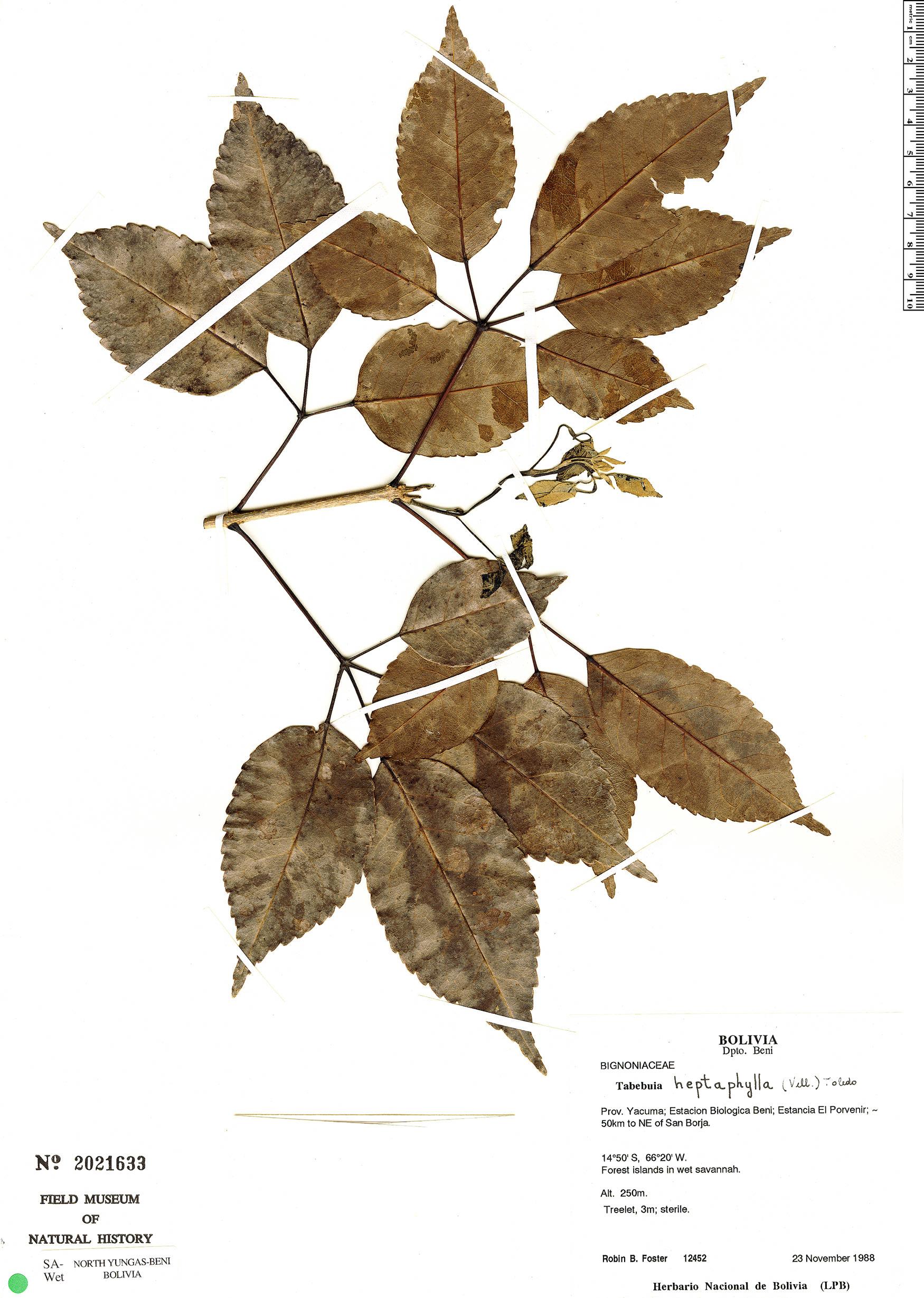 Specimen: Handroanthus heptaphyllus