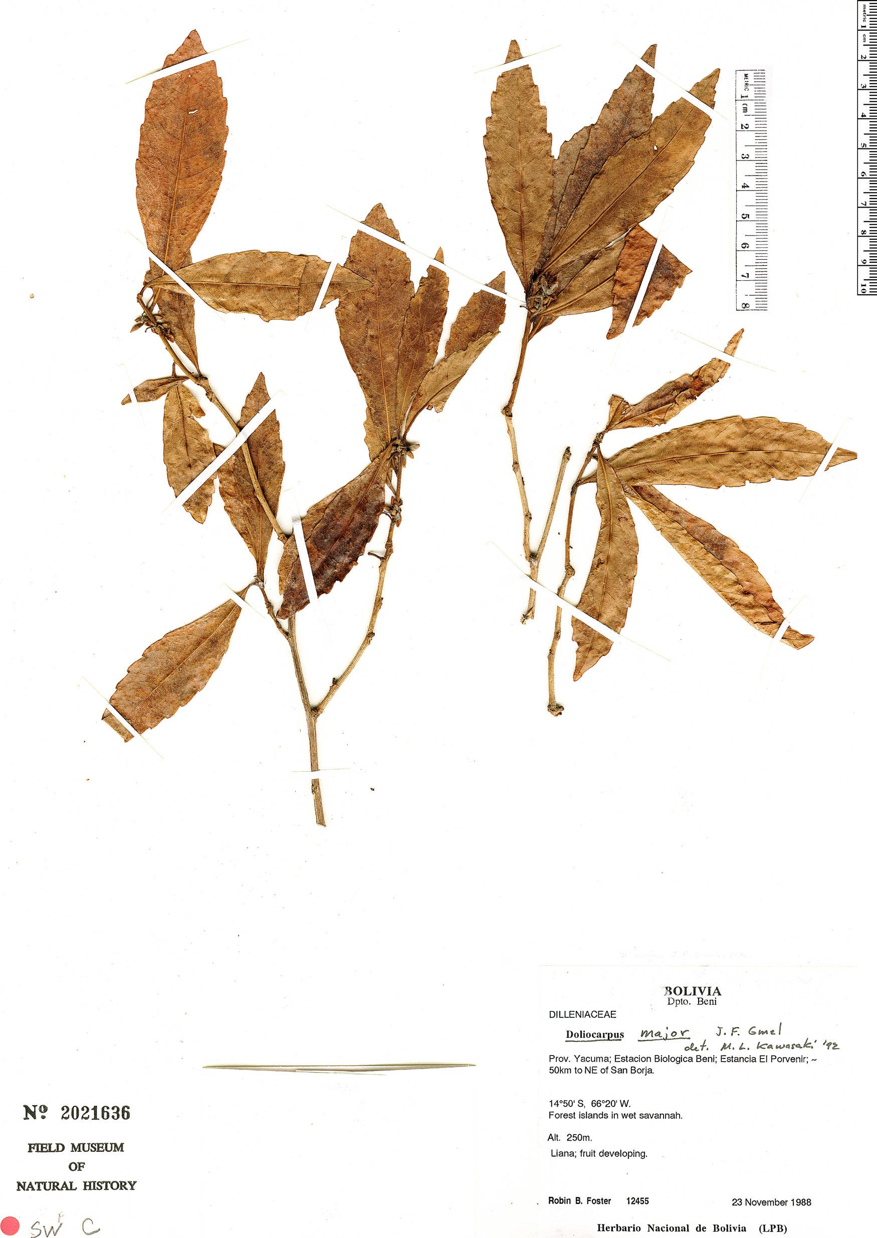 Specimen: Doliocarpus major