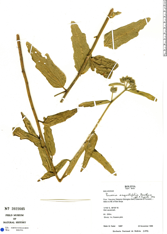 Espécimen: Pavonia angustifolia