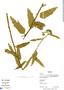 Pavonia angustifolia Benth., Bolivia, R. B. Foster 12467, F