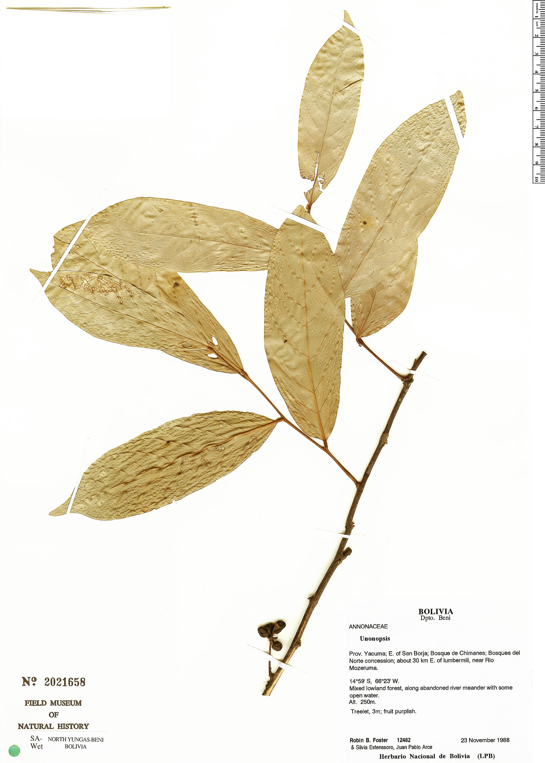 Espécime: Unonopsis guatterioides