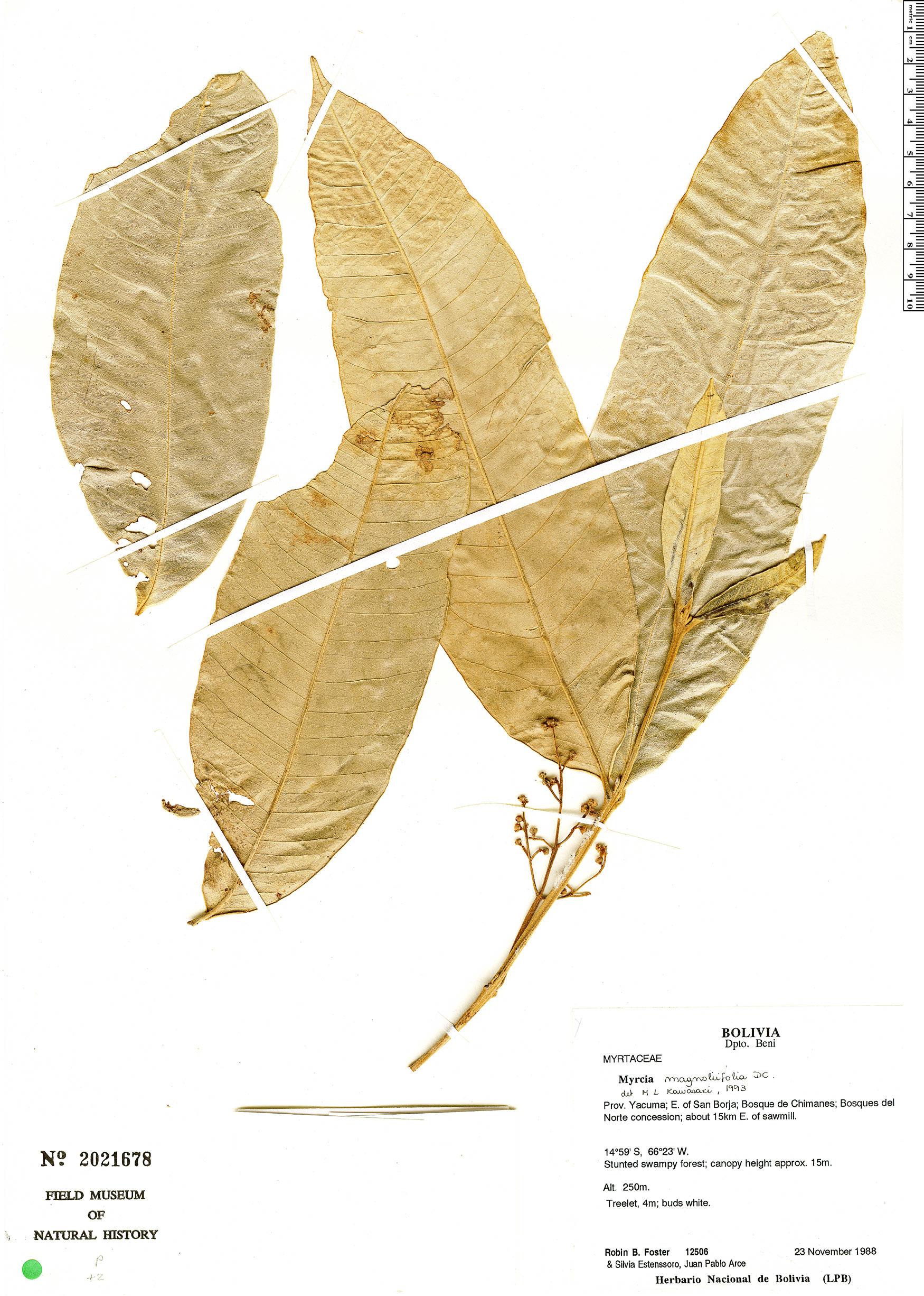 Specimen: Myrcia magnoliifolia