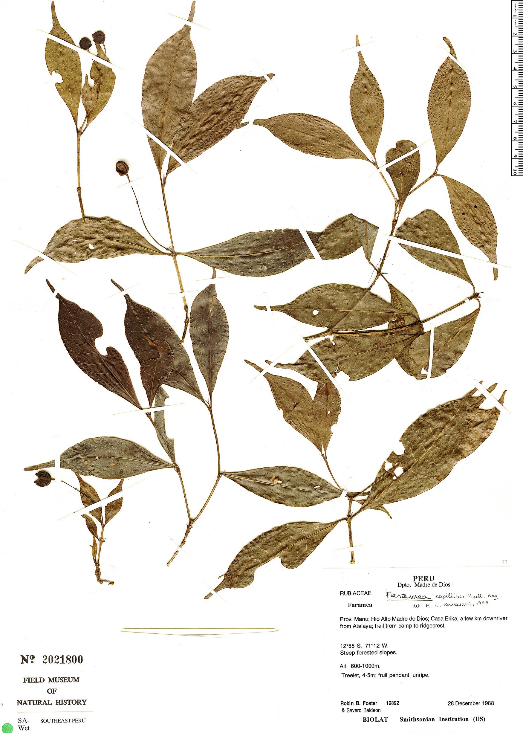 Specimen: Faramea capillipes