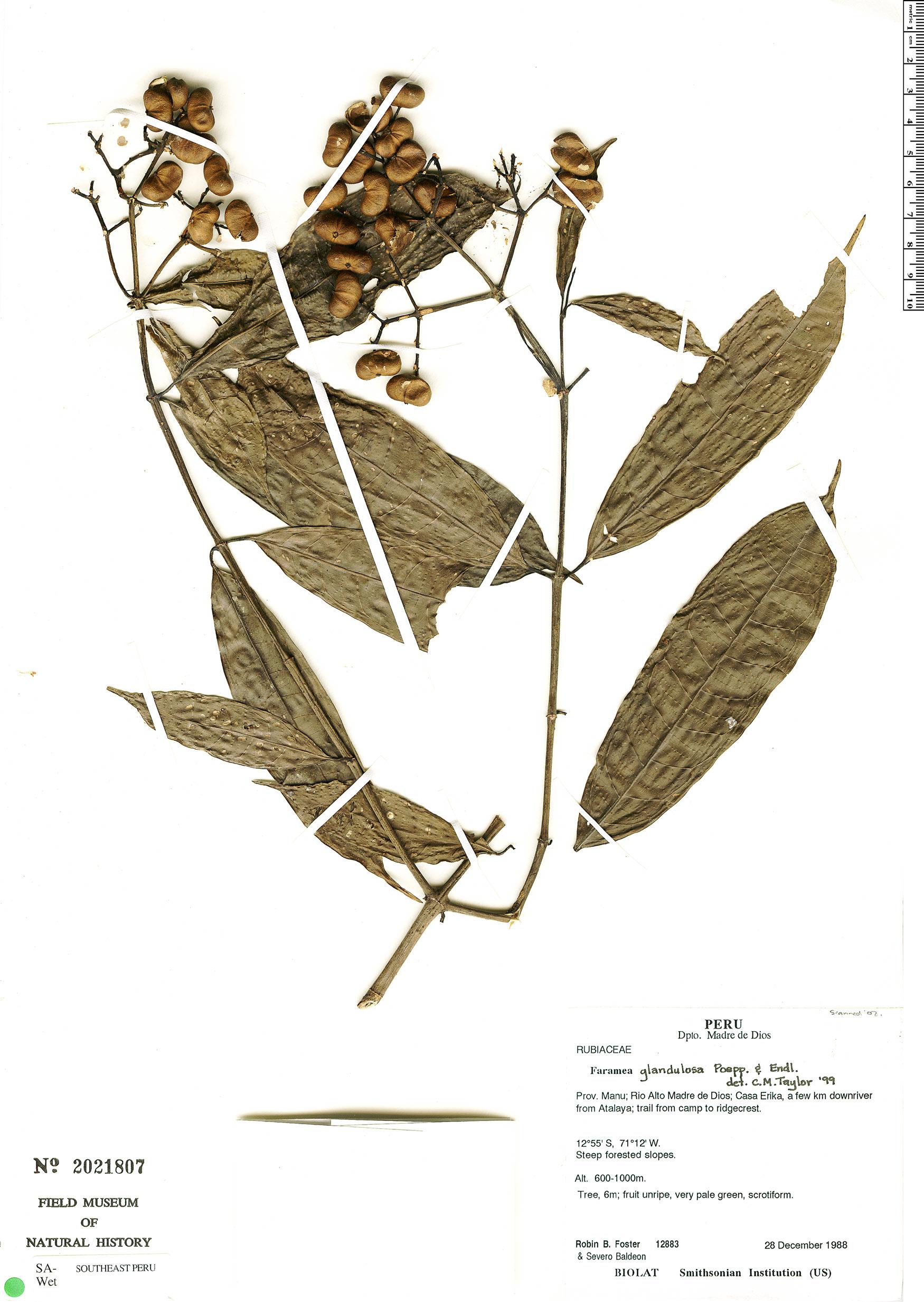 Espécime: Faramea glandulosa