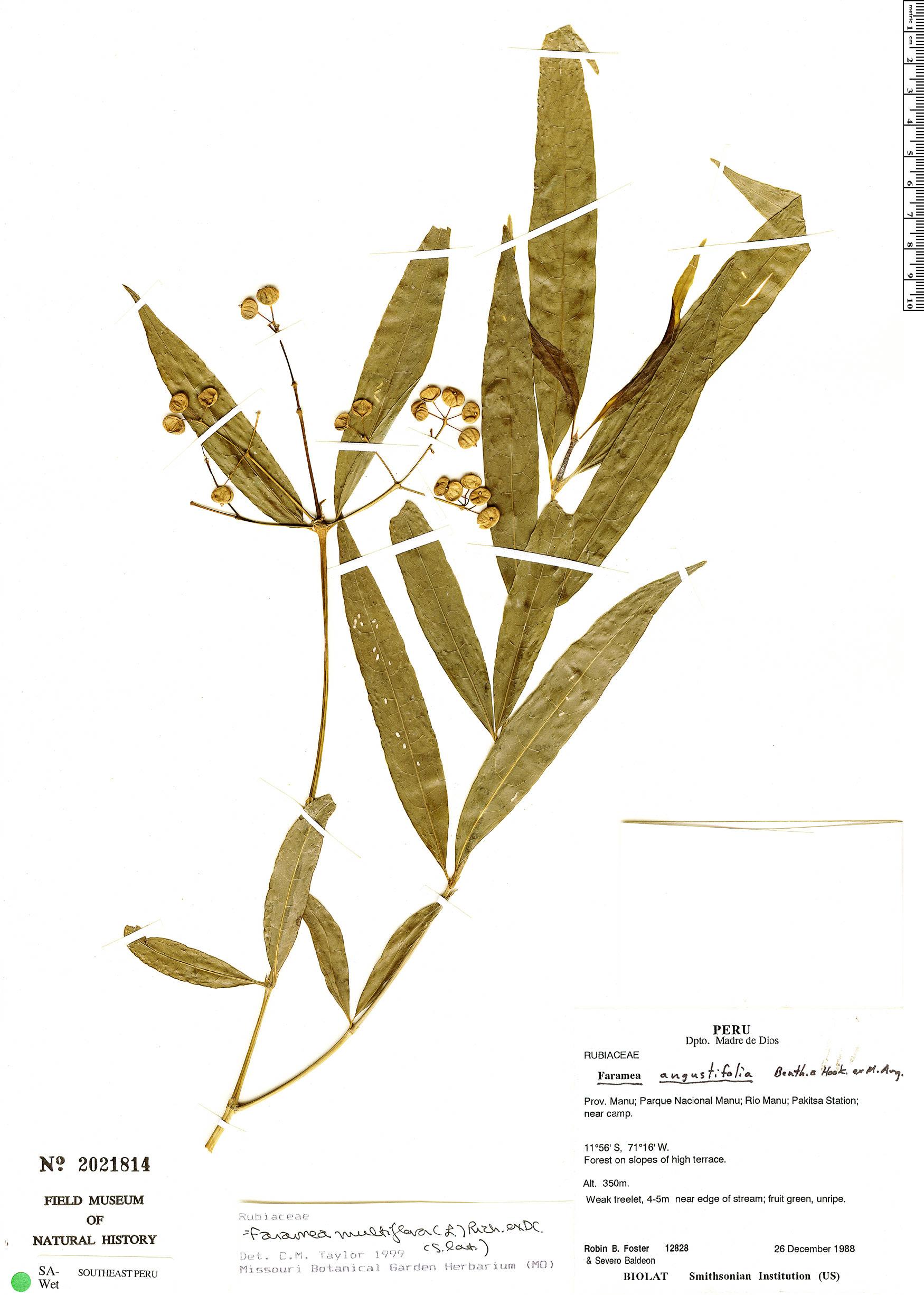 Specimen: Faramea multiflora
