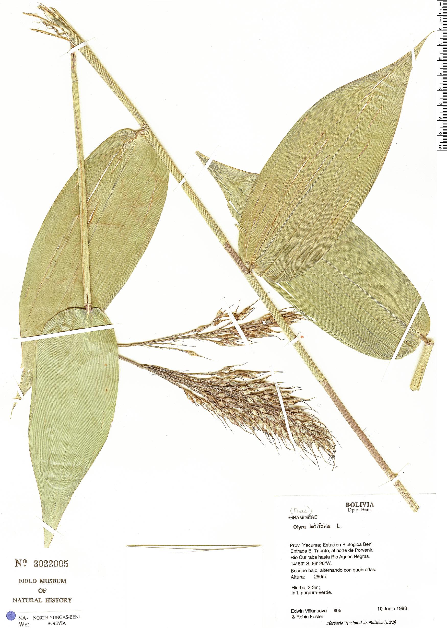 Specimen: Olyra latifolia