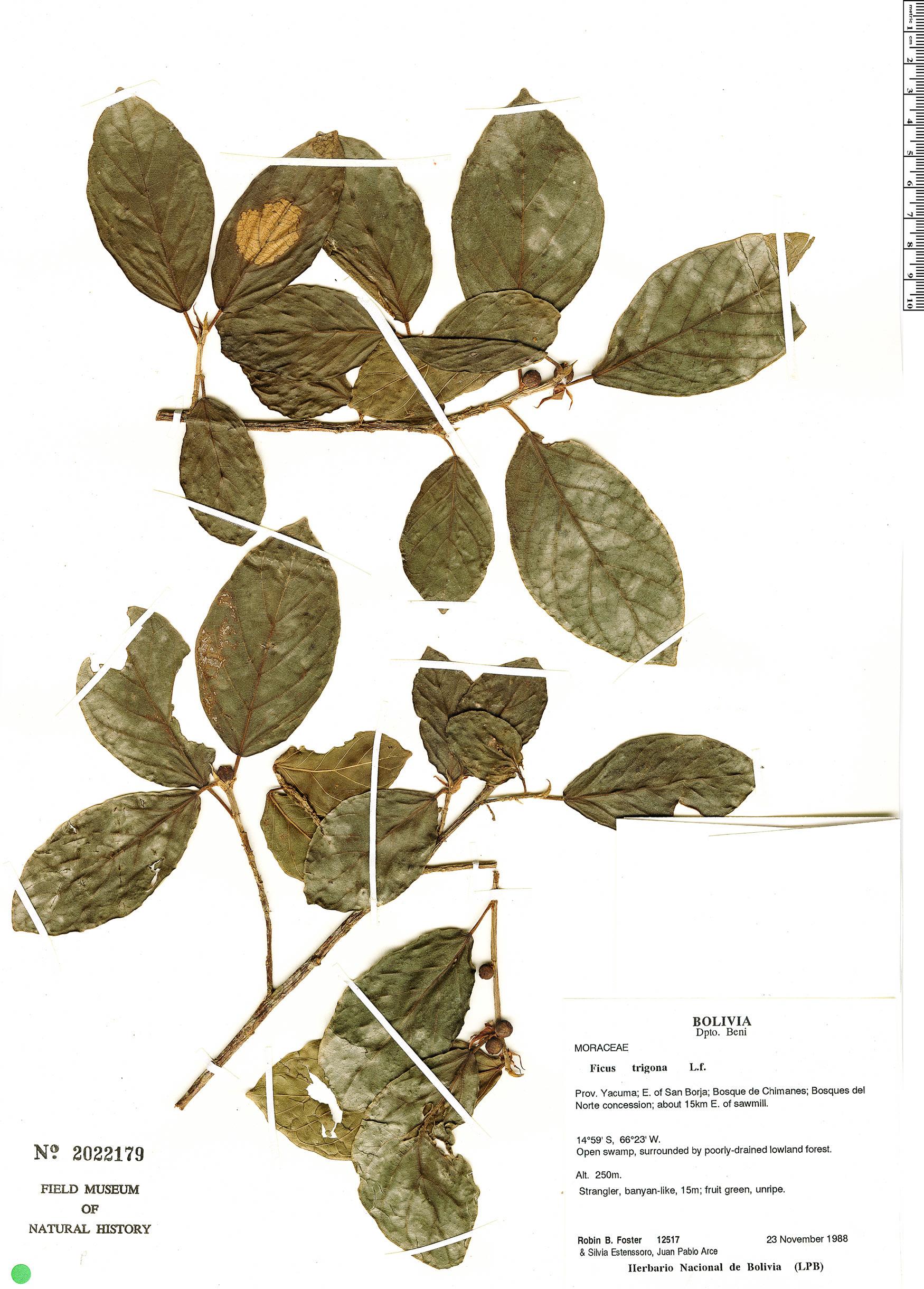 Espécime: Ficus trigona