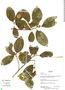 Ficus trigona L. f., Bolivia, R. B. Foster 12517, F