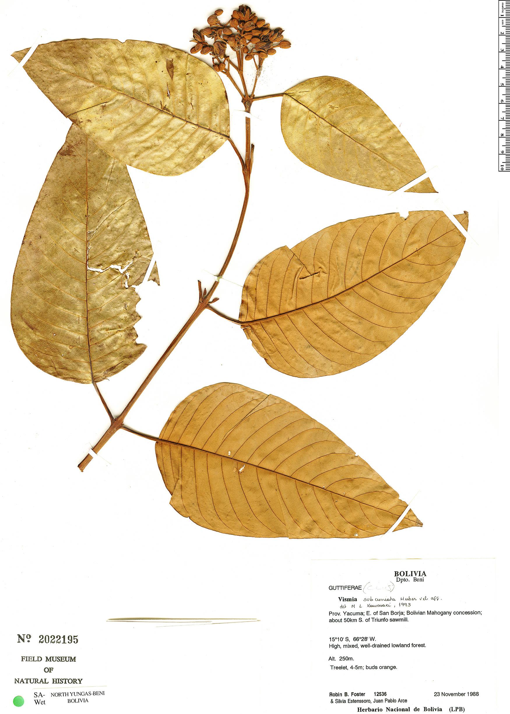 Specimen: Vismia subcuneata
