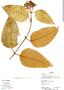 Vismia subcuneata Huber, Bolivia, R. B. Foster 12536, F