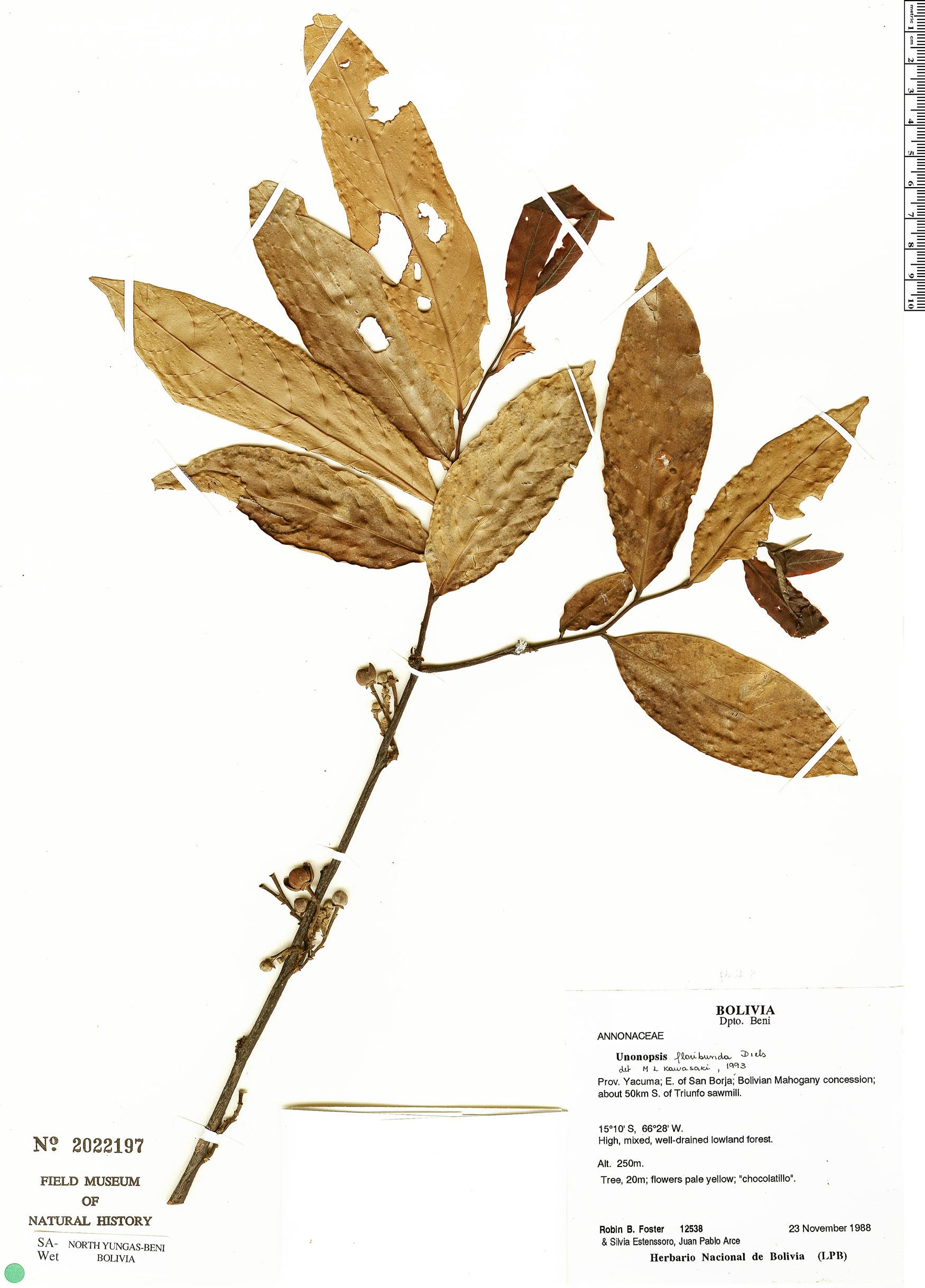Specimen: Unonopsis floribunda