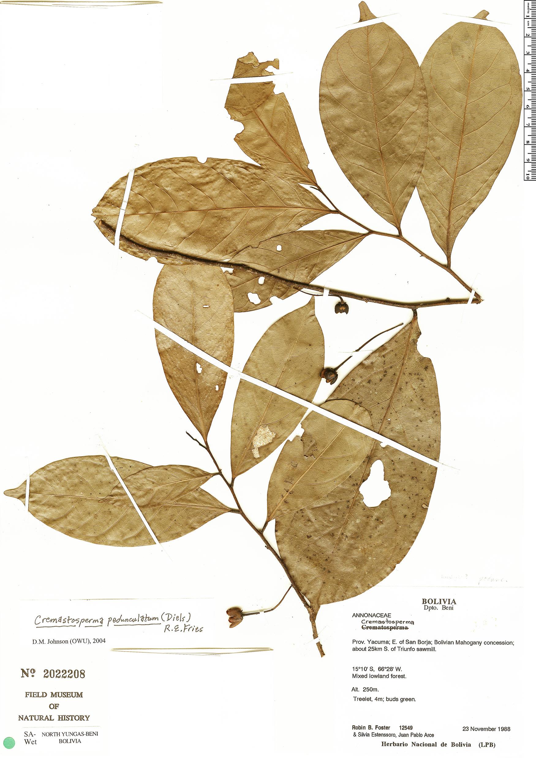Specimen: Cremastosperma monospermum