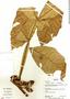Paullinia bracteosa Radlk., Bolivia, R. B. Foster 12332, F