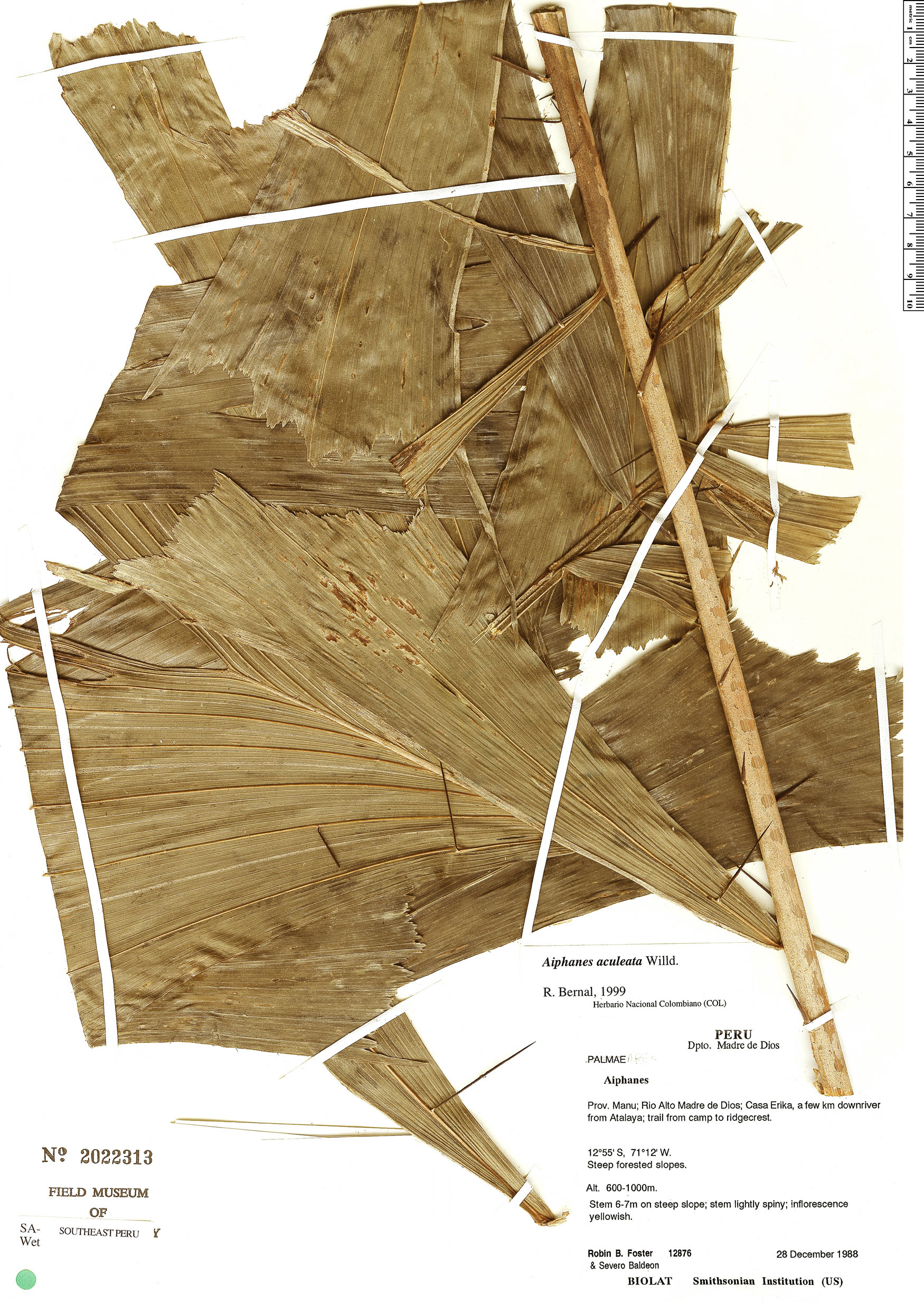 Specimen: Aiphanes aculeata