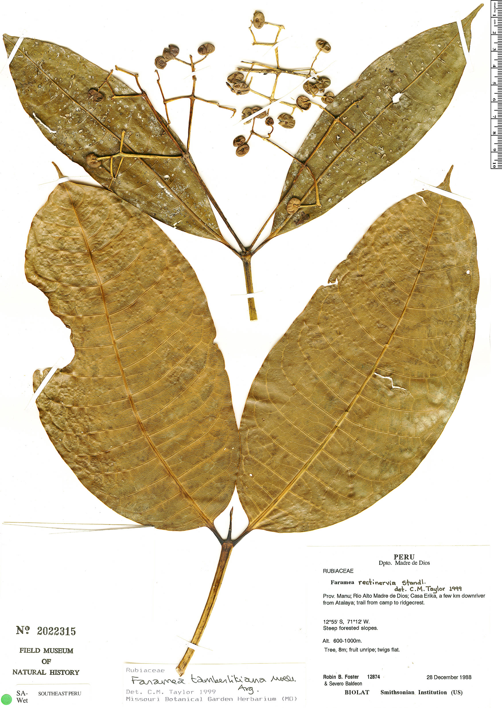 Espécimen: Faramea tamberlikiana