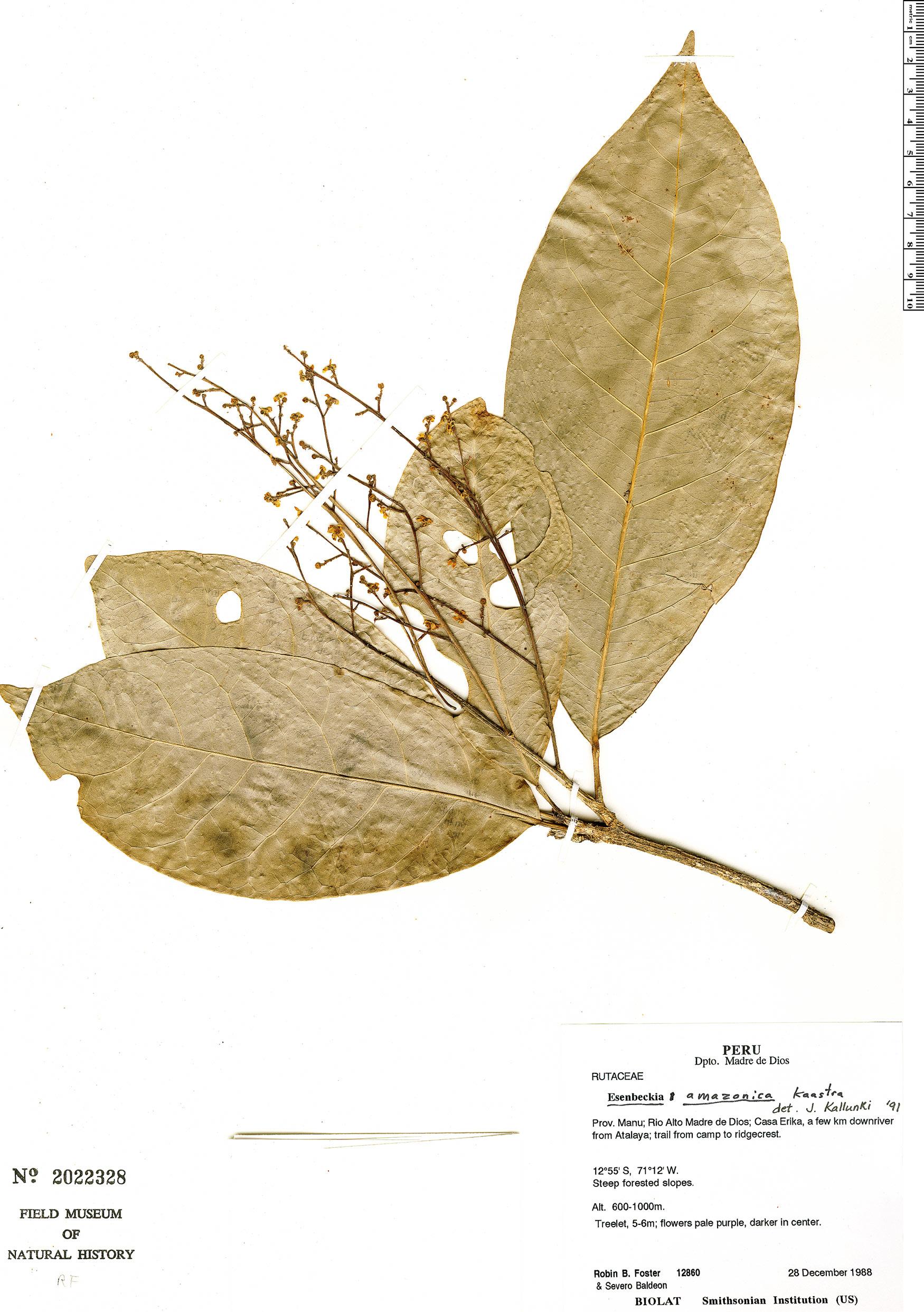 Specimen: Esenbeckia amazonica