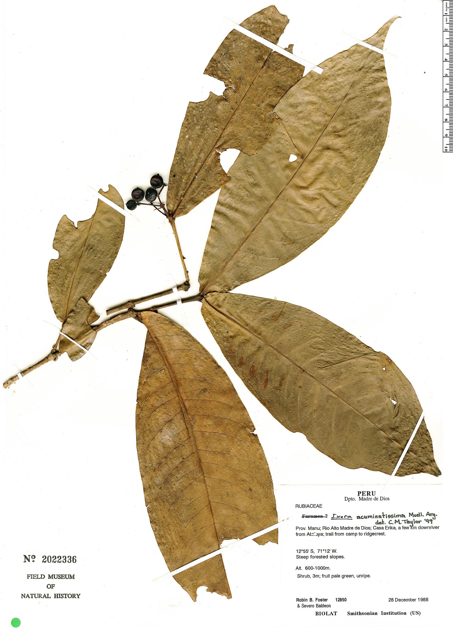 Specimen: Ixora acuminatissima