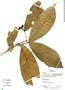 Ixora acuminatissima Müll. Arg., Peru, R. B. Foster 12850, F