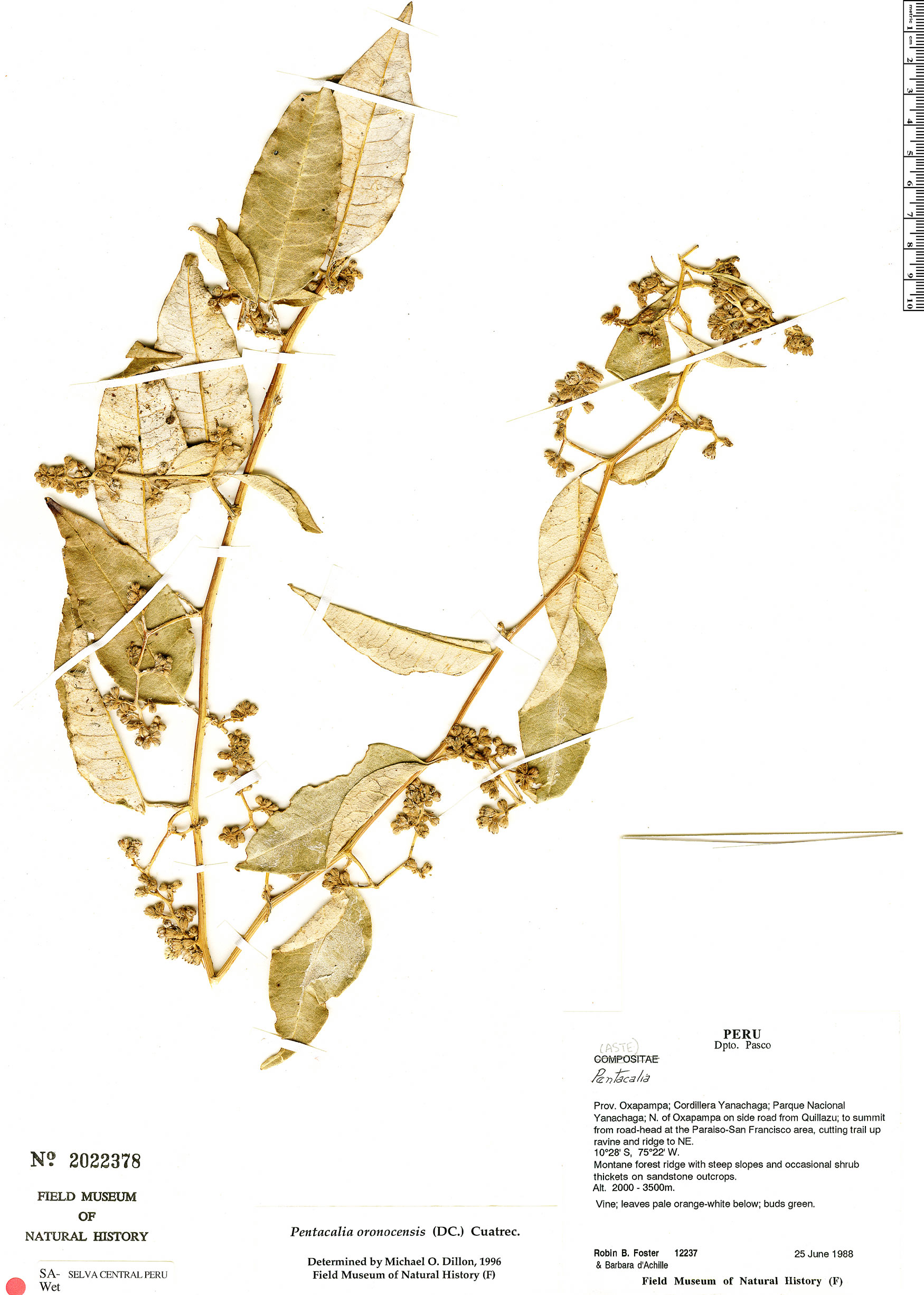 Specimen: Pentacalia oronocensis