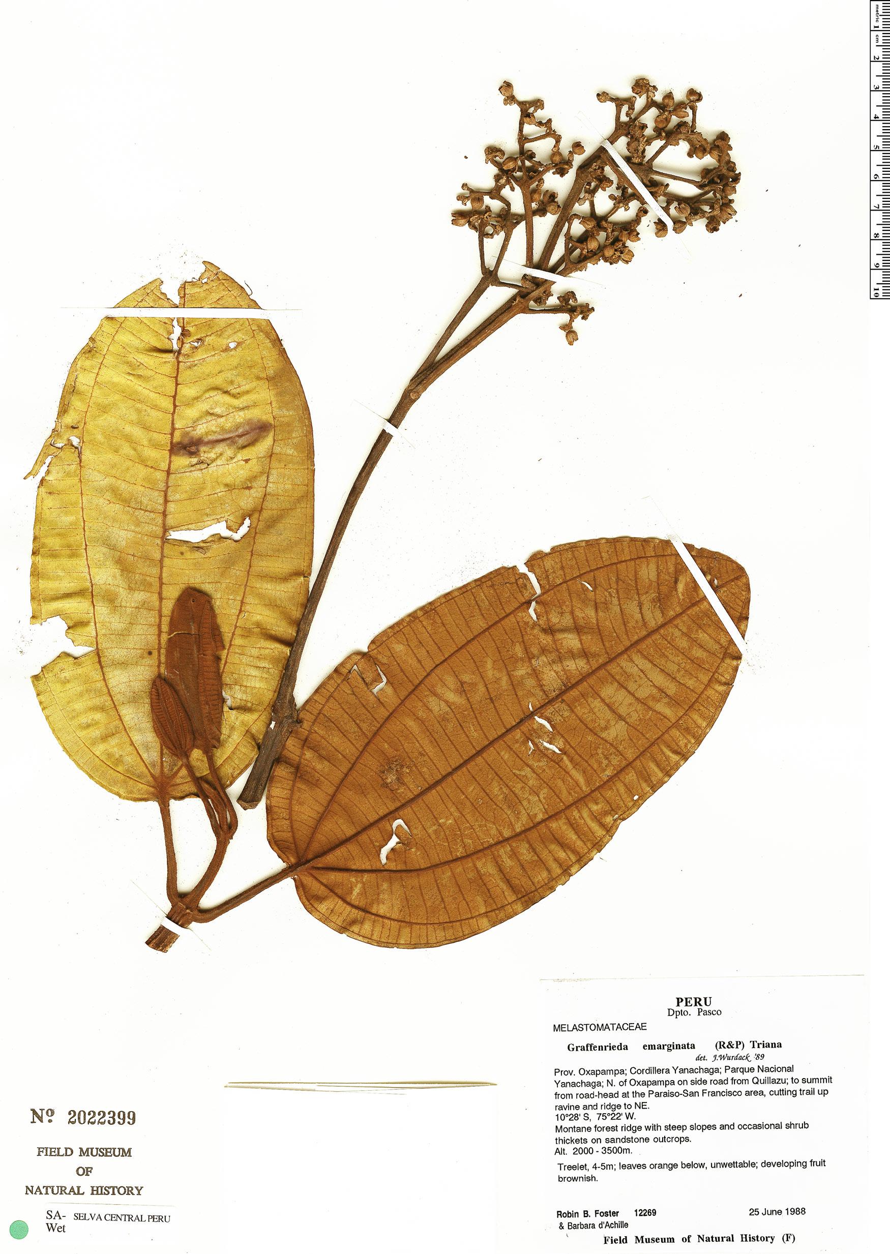 Specimen: Graffenrieda emarginata