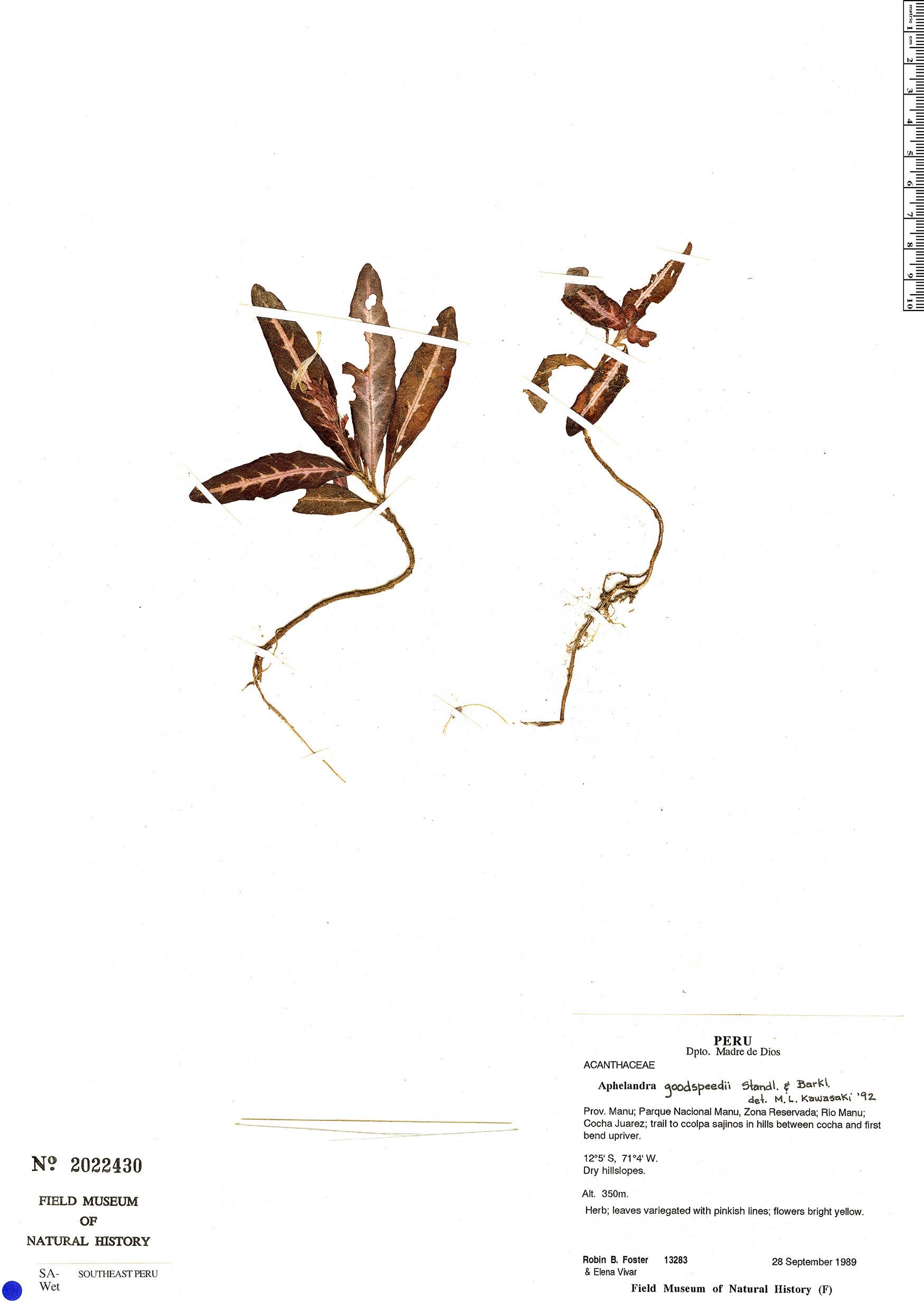 Espécime: Aphelandra goodspeedii