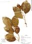 Ficus trigona L. f., Peru, R. B. Foster 13267, F