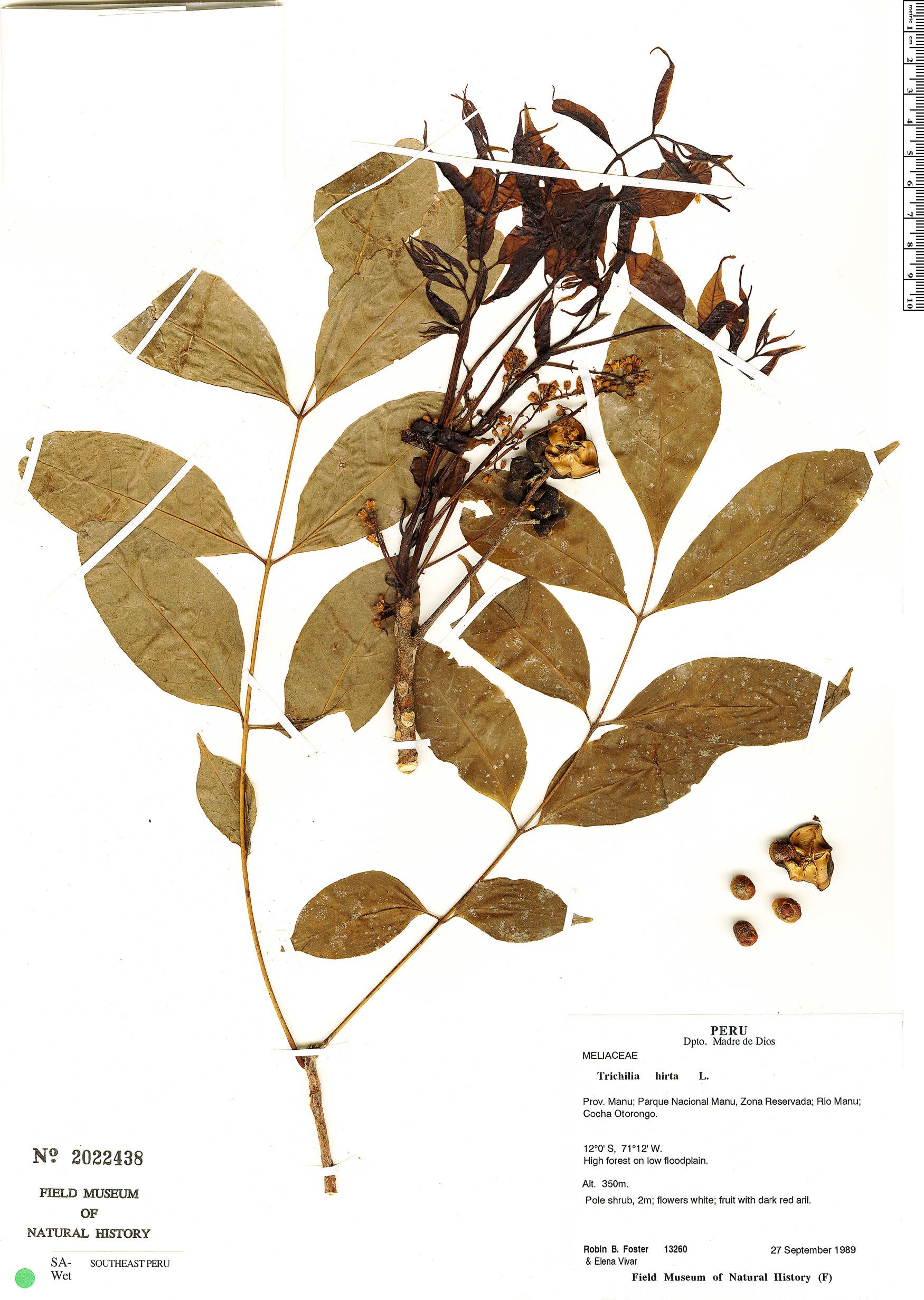 Specimen: Trichilia hirta