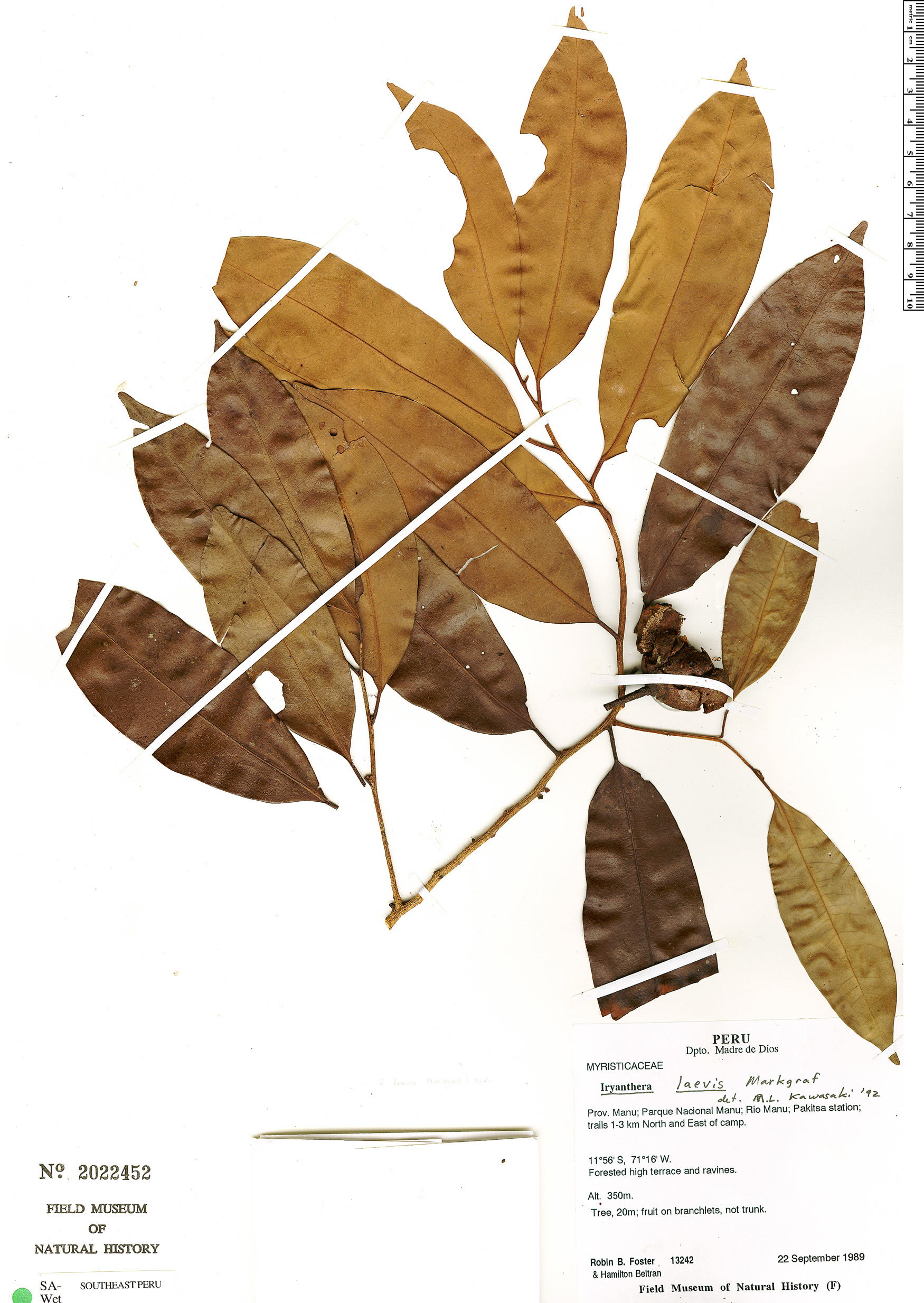 Specimen: Iryanthera laevis