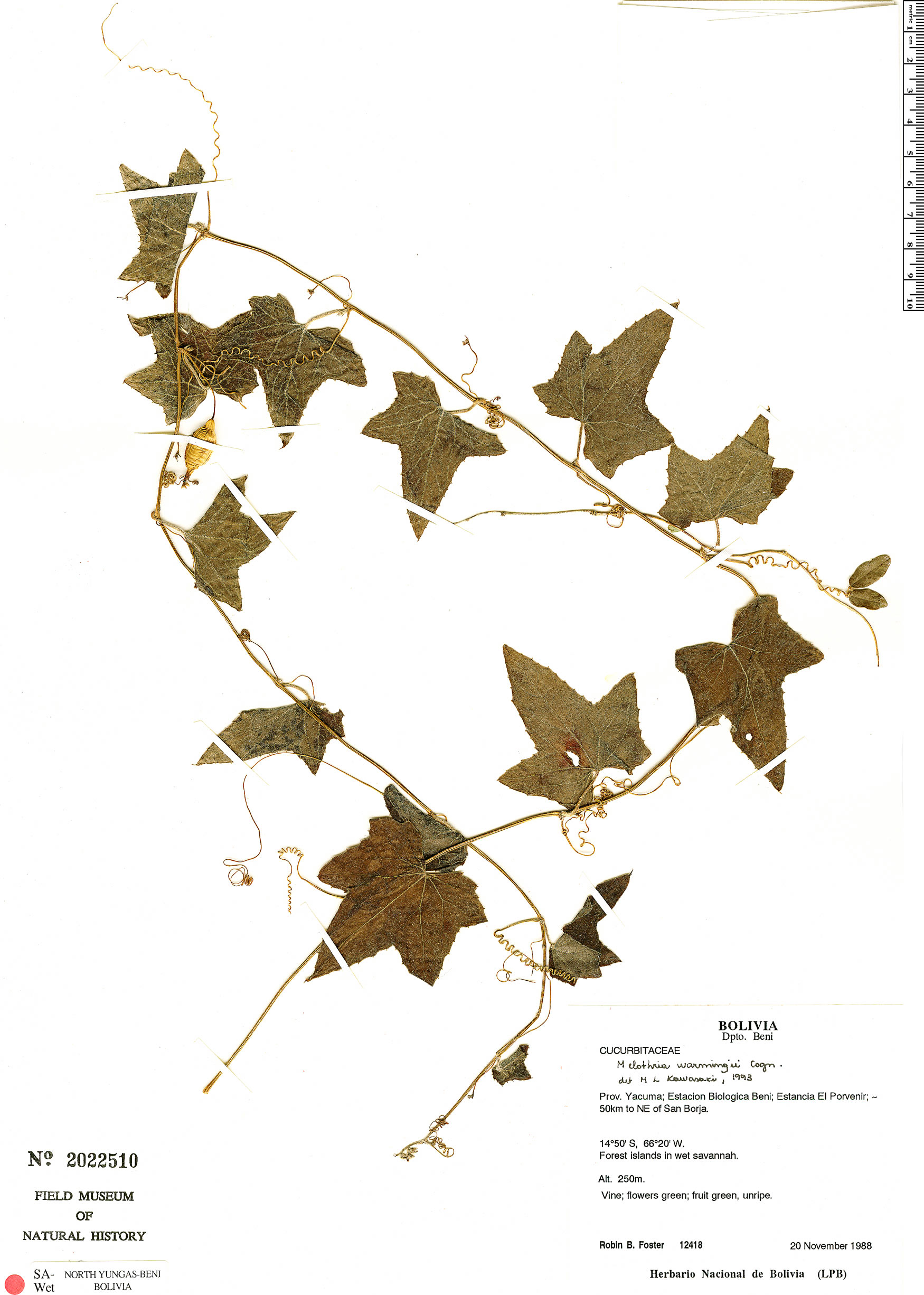 Specimen: Melothria warmingii