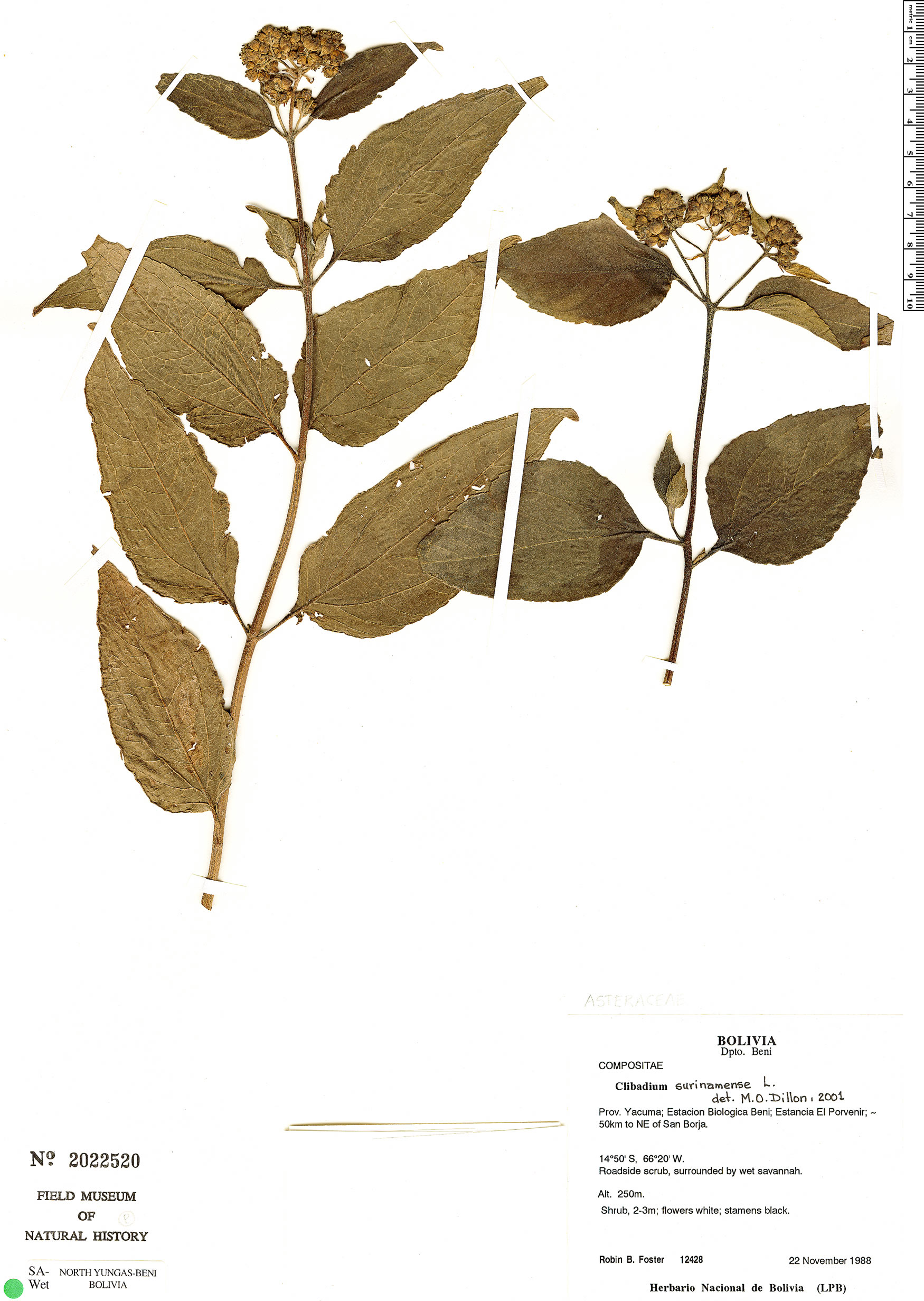 Specimen: Clibadium surinamense