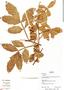 Paullinia pinnata L., Bolivia, R. B. Foster 12429, F