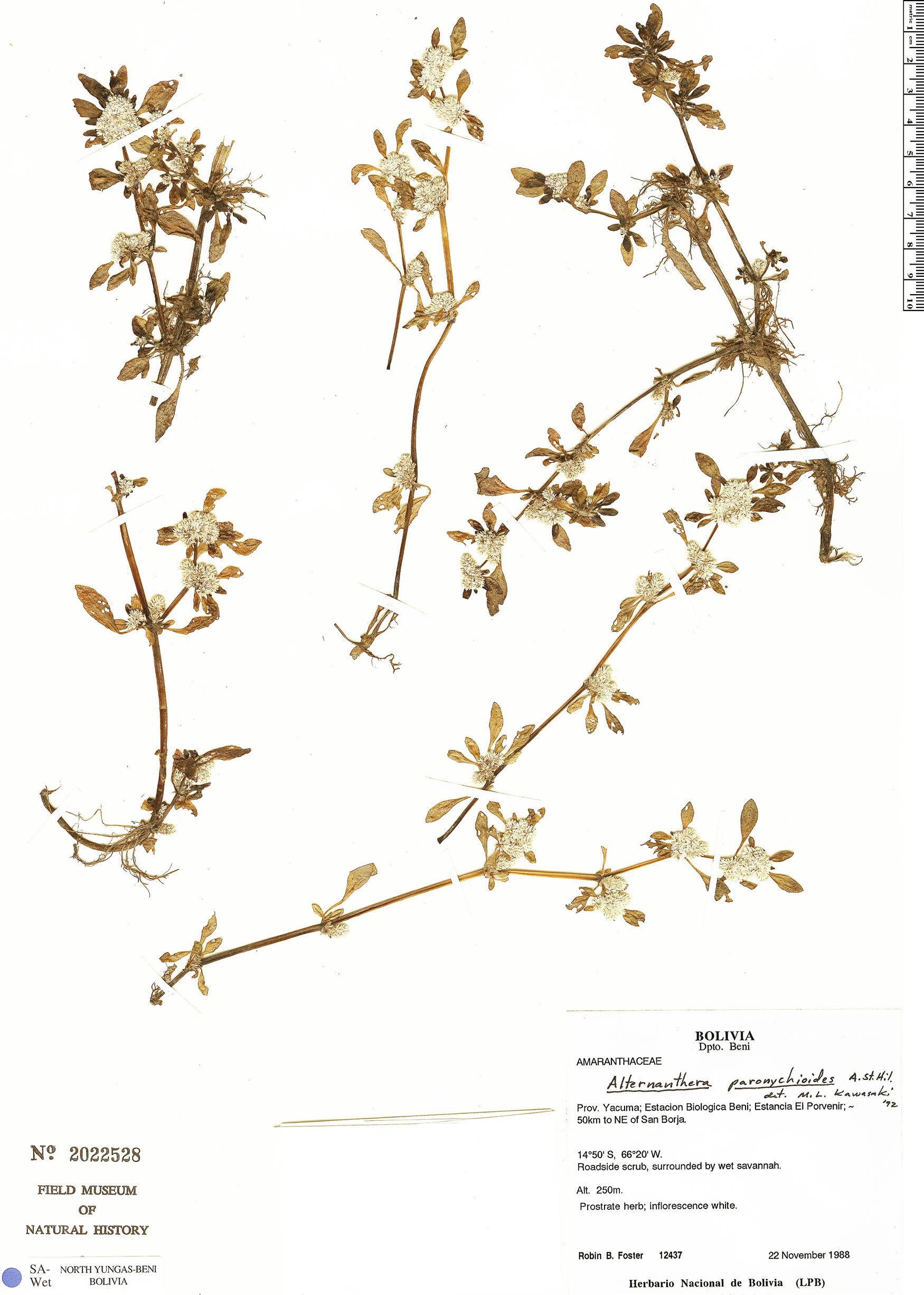 Espécime: Alternanthera paronychioides
