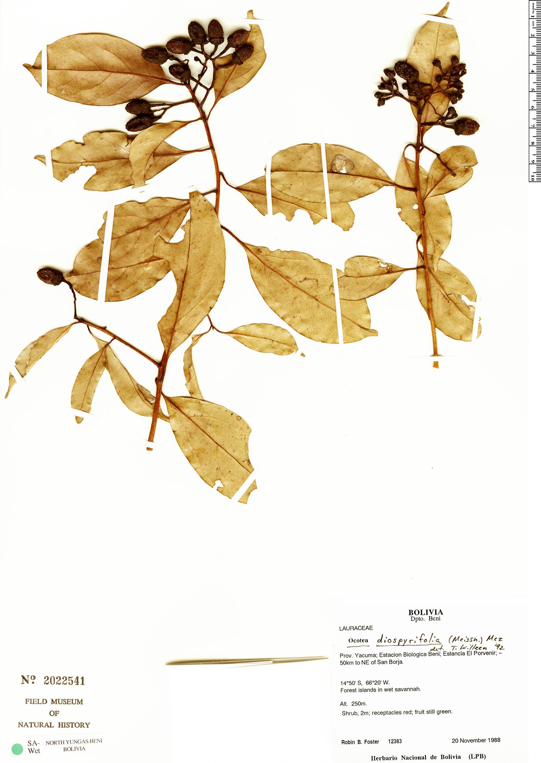 Specimen: Ocotea diospyrifolia