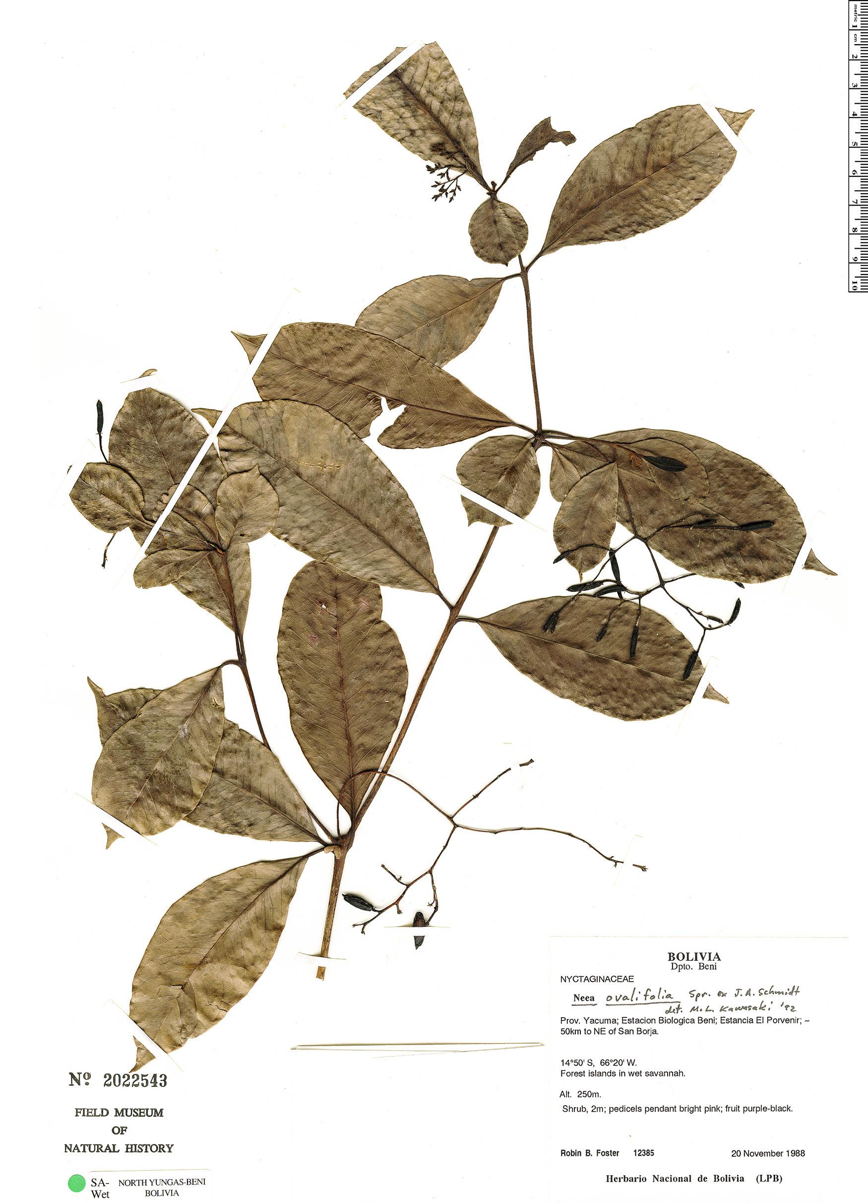 Specimen: Neea ovalifolia