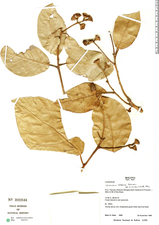Specimen: Nectandra latissima