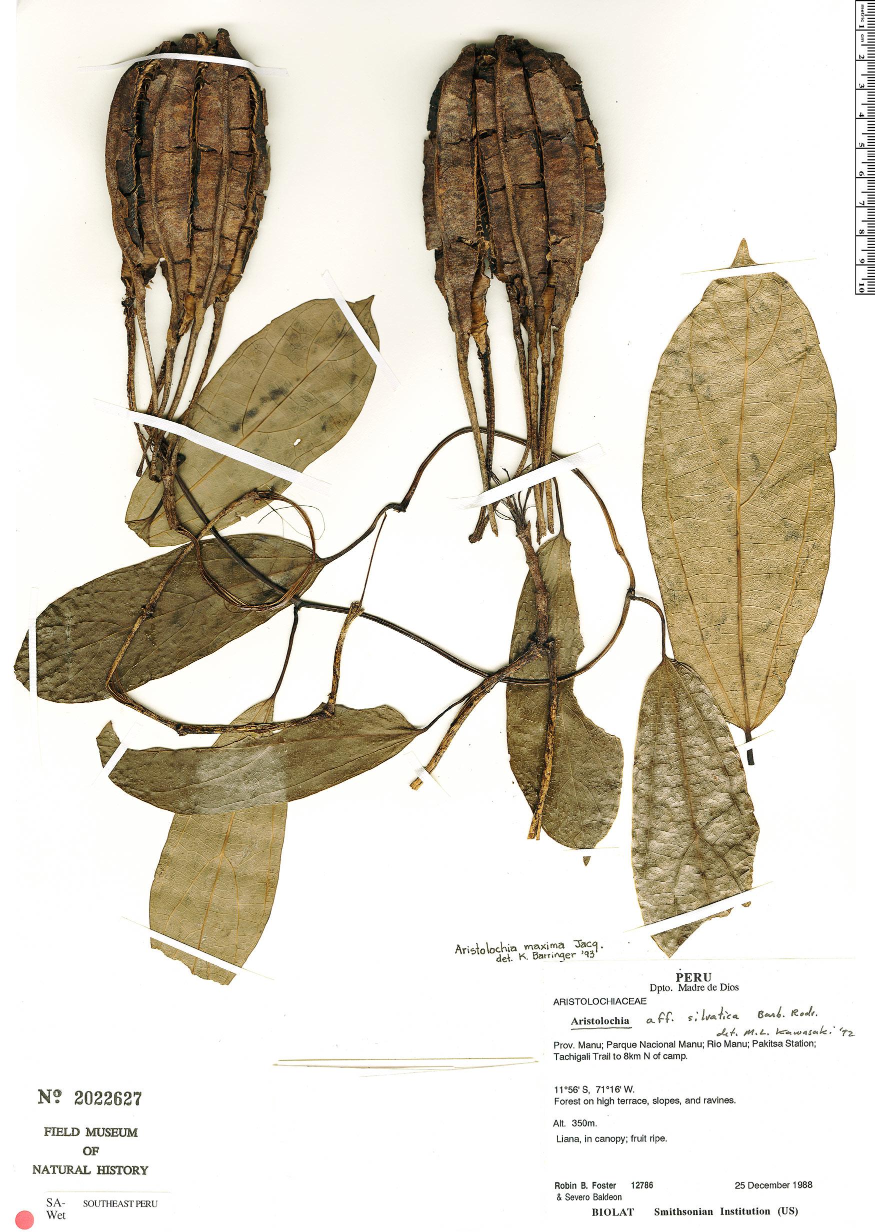 Specimen: Aristolochia maxima