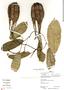 Aristolochia maxima Jacq., Peru, R. B. Foster 12786, F