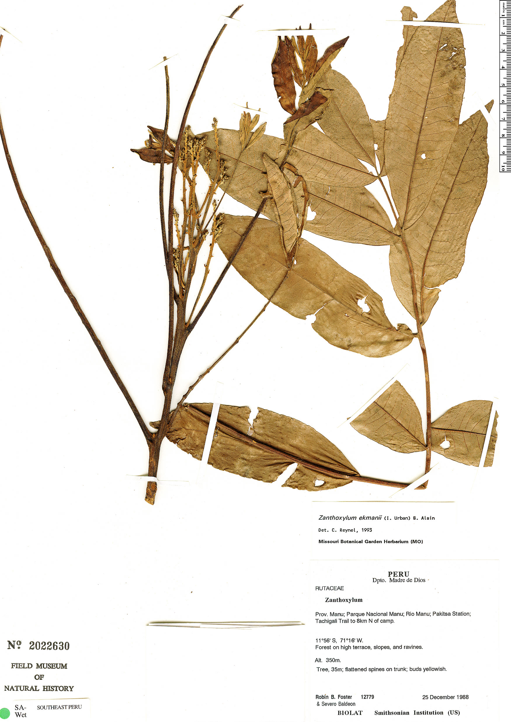 Specimen: Zanthoxylum ekmanii