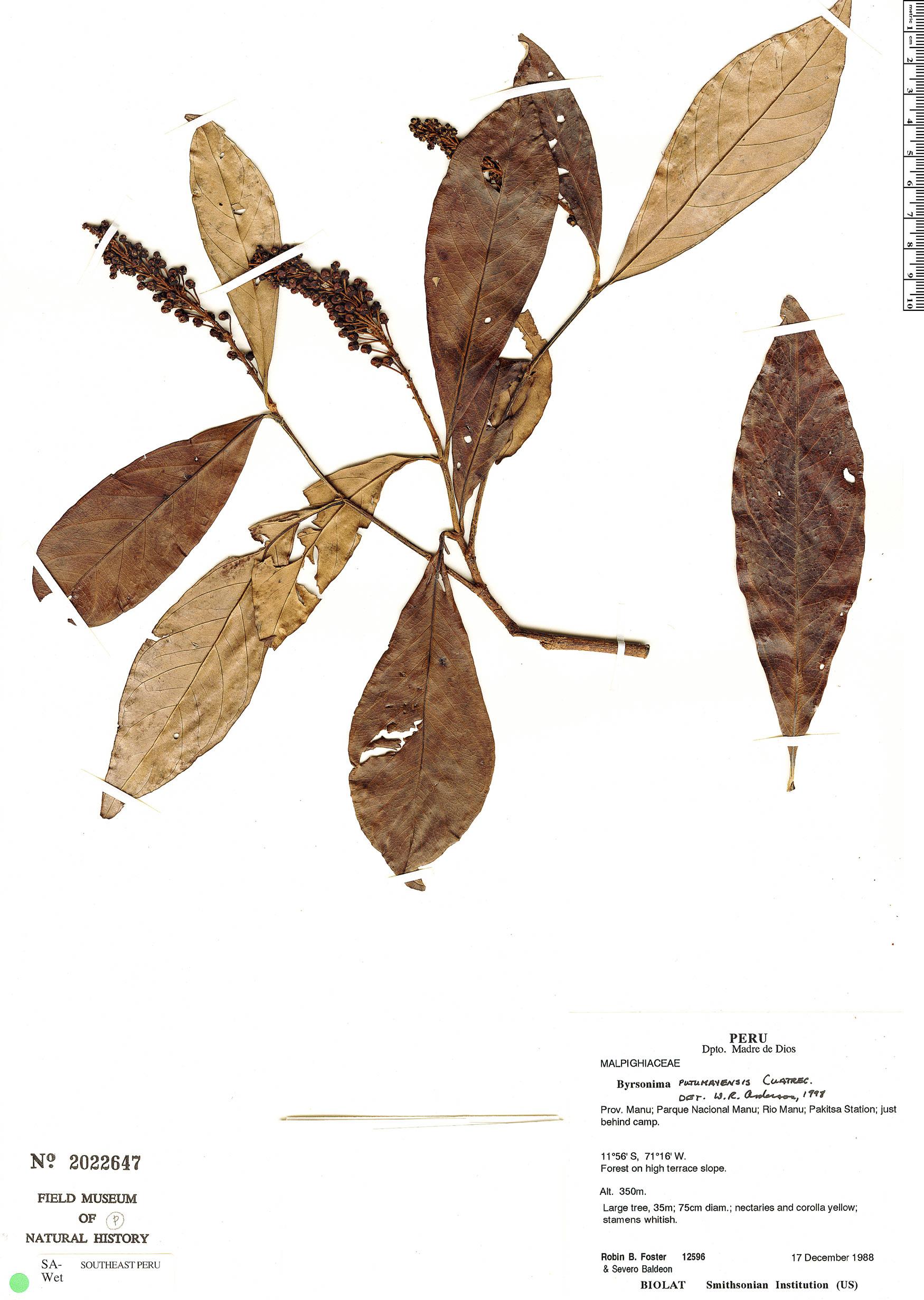 Specimen: Byrsonima putumayensis